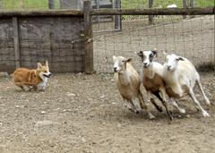 Corgi Herding