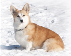 Red Corgi in Snow