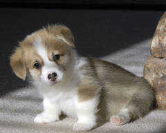 Red Corgi Puppy