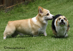Corgis playing outside