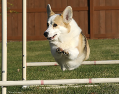 Corgi doing agility
