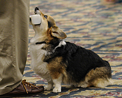 Corgi doing obedience